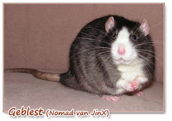 Rat met bles