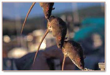Bruine ratten