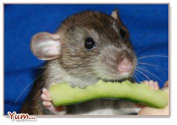 wat mag een rat eten