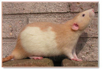 rattery2