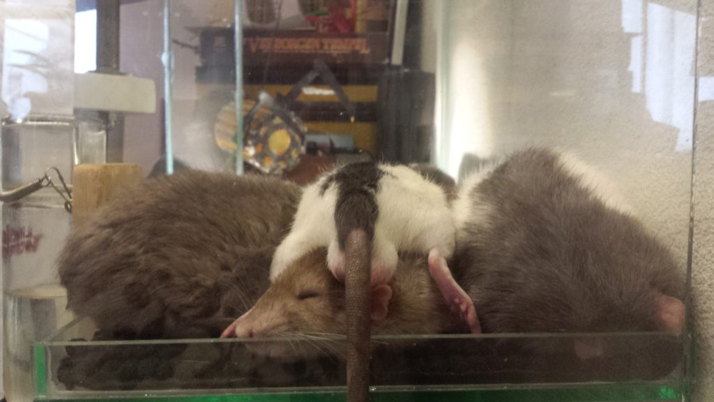 Hoop met ratjes